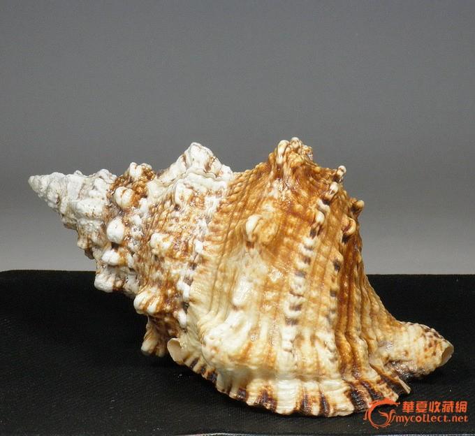 天然万宝螺 *海螺贝壳海星*礼品收藏摆设*鱼缸水族