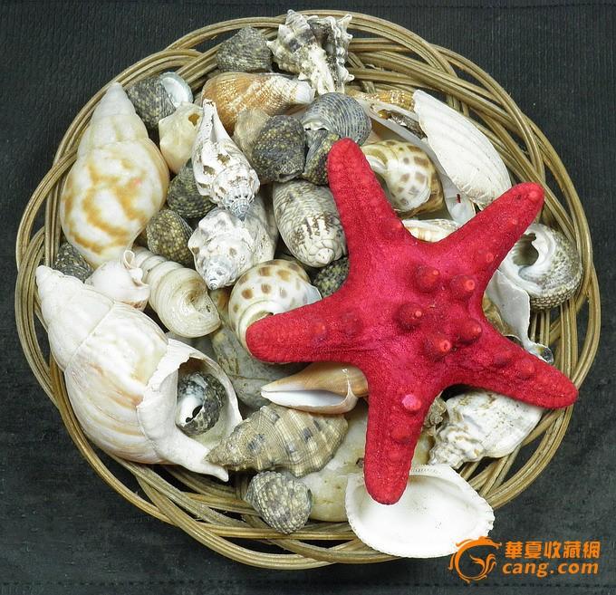 海螺贝壳海星*礼品收藏摆设*鱼缸水族