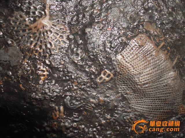 四亿年前志留纪窗格苔藓虫化石28公分400元