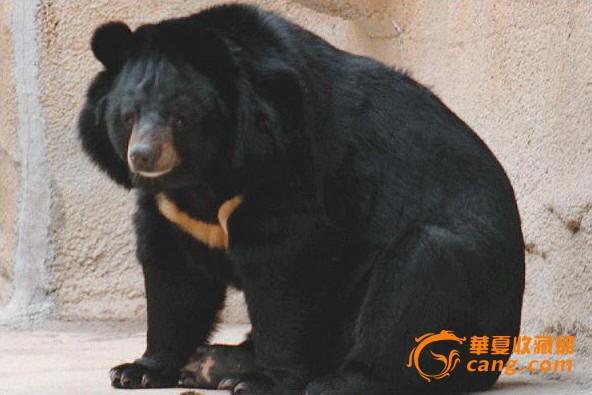 黑熊图片大全可爱图片