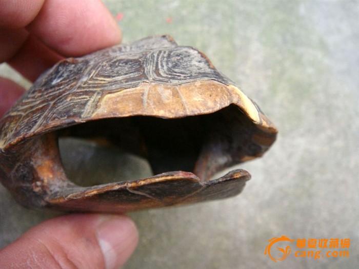 有壳的动物图片