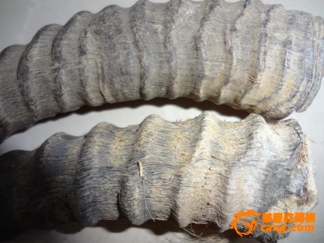 动物角_动物角价格_动物角图片_来自藏友zhuaman_杂项