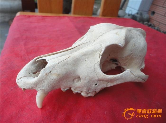 一个能辟邪动物的头骨(传说是猴的头骨)