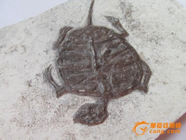 【赚人气】乌龟化石标本摆件