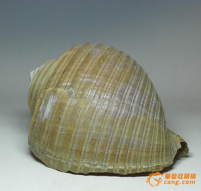 舟山海鲜 海螺贝壳 海洋风格 时尚摆设 鱼缸伴侣