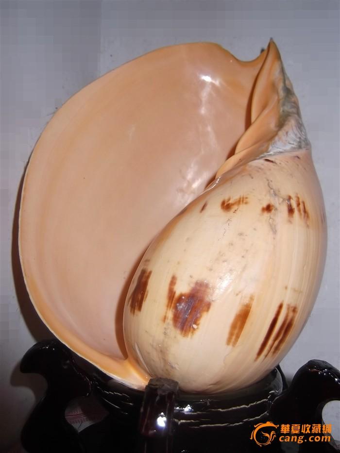 贝壳海螺一个,海产品